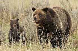 Bears Montana Hunting And Fishing - wyoming assumes grizzly bear management in 2017 future still