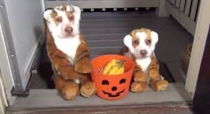 australian shepherd and beagle mix pet costumes a letter to my dog