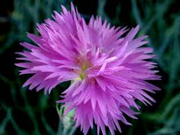 Fragrant Plants Iris New Hampshire Garden Solutions