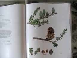 native plants of the sydney region category botanical art l i n d a c a t c h l o v e