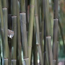 abri jardin bambou bambou moyen phyllostachys bissetii plantes et jardins