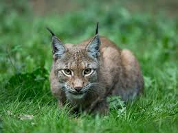 New York wildlife images Bobcat that attacked couple in new york state had rabies jpg