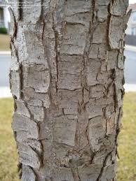 White Oak Tree Bark Plantfiles Pictures Monterey Oak Monterrey Oak Mexican White