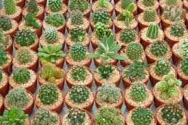 a little cactus in the small pots stock photo picture and royalty