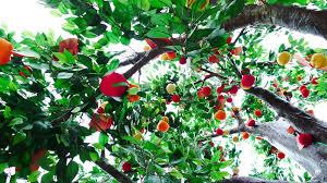 wishing on a tree where hongkongers go for luck