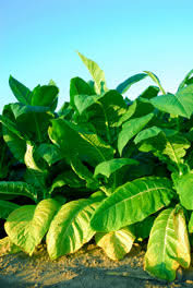 grow your own tobacco how to grow your own tobacco how to cure