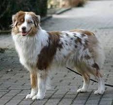australian shepherd fur red tri australian shepherd kaylee dogs pinterest red tri