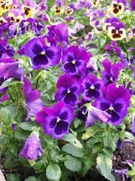 Long Blooming Annual Flowers - gardening in the shade annual plants for shady areas dengarden