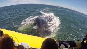 Whale French Tourists Treated To Whale Of A Sight Near Tadoussac Que