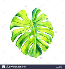 a leaf of a tropical plant monstera philodendron ampel plant