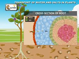 transport of water and salts in plants science youtube