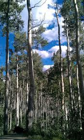142 best mountain streams aspen trees beaver ponds images on aspen trees outside of aspen co