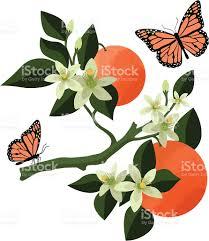 orange blossoms and monarch butterflies stock vector art 166055571