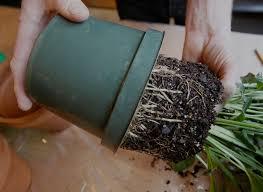 House Plants Diseases - garden design garden design with tips to repotting indoor plants