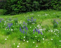 June Flowers - early june flowers new hampshire garden solutions