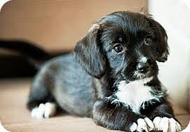 bluetick coonhound in michigan bliss adopted puppy battle creek mi toy poodle shih tzu mix