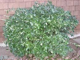 Flowering Shrubs For Partial Sun - winter shrubs