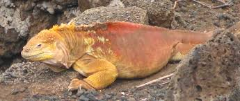 iguana island galapagos islands ecuador adventurous living