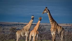 giraffe archives biosphere