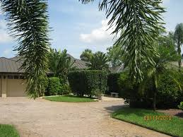 foxtail palm tree landscaping inspiring palm tree landscaping