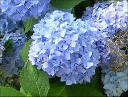 french hydrangea for gardens in north and central florida