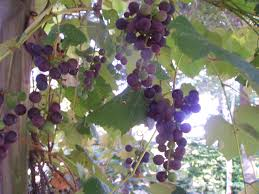 how to grow grapes gardening jones