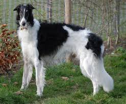 afghan hound lady and the tramp borzoi wikipedia
