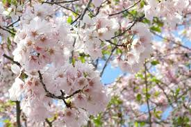 everything to about the washington dc cherry trees