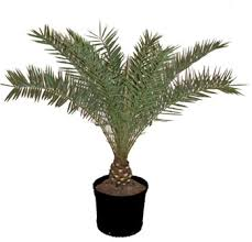 sylvester date palm tree shop now broward palms landscape