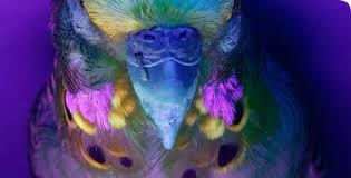 uv light for birds budgie parrot photographed under ultraviolet light parrots