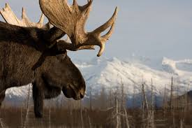 index of scraper data alphacoders moose wallpapers