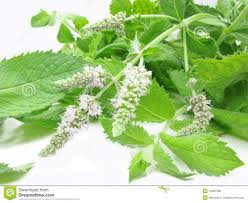 mint flowers fresh mint leaves with flowers stock photo image of crop