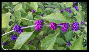 native american edible plants the edible outdoors 18 american beautyberry u2014 steemit