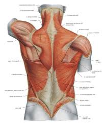 diagram of the human back muscles human anatomy chart page 133