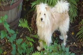 american eskimo dog poodle mix top 20 most cutest poodle mix breeds that you need to know