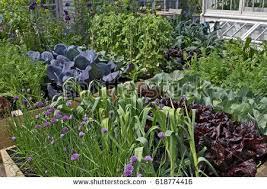 Urban Veggie Garden - vegetable garden stock images royalty free images u0026 vectors