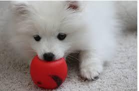 american eskimo dog breeders stunning american eskimo dog growth chart dog toys american eskimo