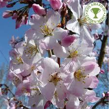 prunus pandora buy cherry blossom tree flowering cherry trees