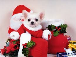 Chihuahua Christmas Ornaments Christmas Chihuahua Pictures Christmas Card 2018