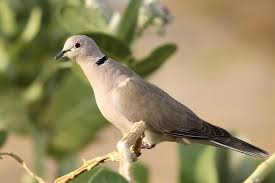 collared dove streptopelia roseogrisea a bird in a tree