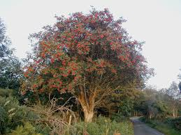 native plants uk list of trees of great britain and ireland wikipedia