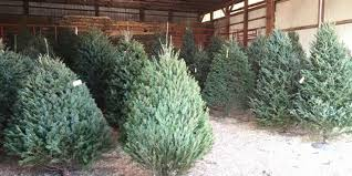 travel where to find local and live christmas trees