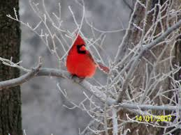 Cardinal Bird Home Decor by Bird Sounds And Calls Of The Northern Cardinal The Old Farmer U0027s