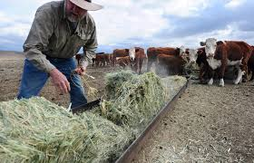 u s cattle ranchers size up trump u0027s beef with nafta here u0026 now