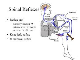 Knee Reflex Arc The Nervous System General Structure Of The Nervous System