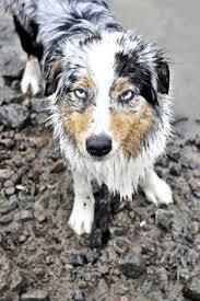 south florida australian shepherd this australian shepherd is a usf fan furry fans pinterest
