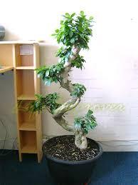 1 large ficus benjamina weeping fig tree s shape bonsai evergreen