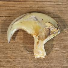 lions for sale lion claw for sale 12251 the taxidermy store