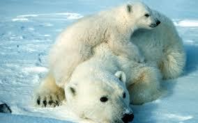 2017 03 10 quality cool polar bear pic 2004291 1920x1200