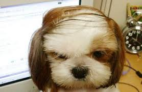 shih tzu with curly hair 20 adorable shih tzus with stunning haircuts hairstylec